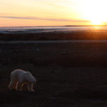 Bear in the Sunset