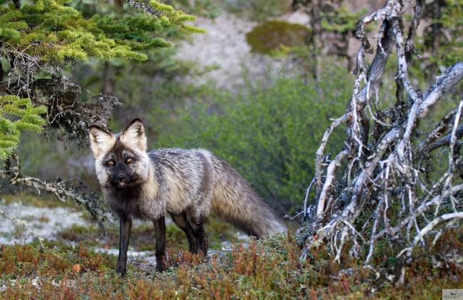 arctic haven caribou wolves and northern lights the. Black Bedroom Furniture Sets. Home Design Ideas